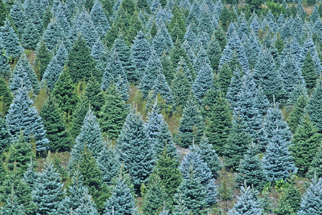 christmas trees deplete our forests - Blue Christmas Trees